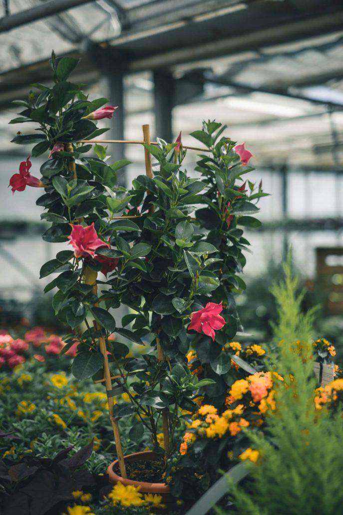 Beet Und Balkonpflanzen Gartnerei Ziwes
